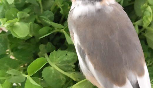 文鳥と豆苗